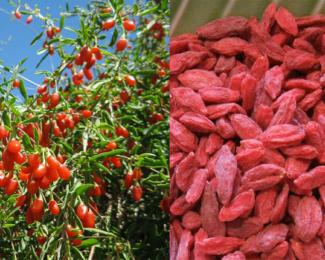 Plante si fructe Goji